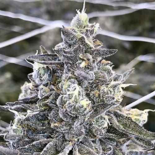 Apple Fritter Marijuana Strain