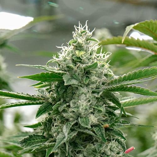 Crescendo Marijuana Strain