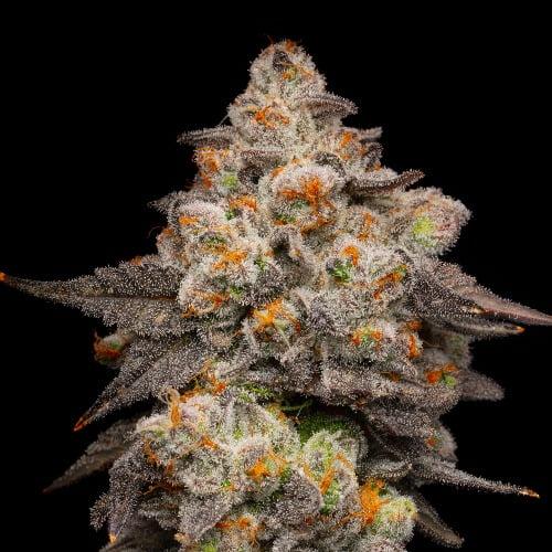 Berry Pie Marijuana Strain