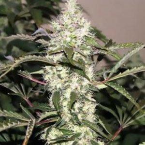 Cherry Chem Marijuana Strain