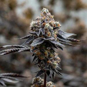 Gary Payton Marijuana Strain