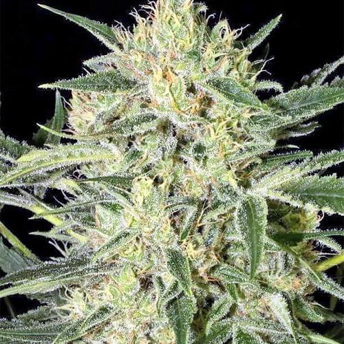 Hawaiian Punch Marijuana Strain