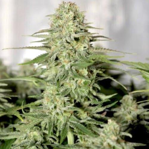 Sugar Black Rose Marijuana Strain